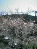 040403_sakura.jpg