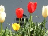 040410_tulips.jpg