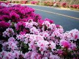 040425_tsutsuji.jpg