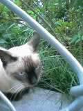ノラなシャム猫さん