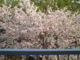 家にいながらにして花見できます(^-^)