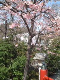 源平池の側の河津桜