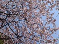 馬場(神奈川県立近代美術館 鎌倉館付近)の河津桜