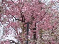 濃いピンクの枝垂桜