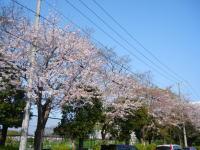 フツーの桜