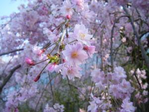 枝垂桜アップ