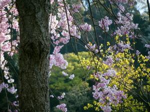 黄色い花と枝垂桜