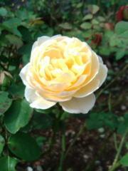淡い黄色のバラ