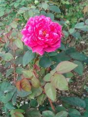 濃いピンクのバラ